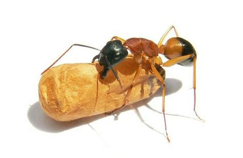 18 easy home remedies to get rid of sugar ants