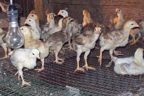 Benih Ayam Daging angsada ria ternakan memilih anak ayam belanda yang baik