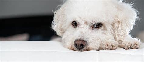 welche teppiche sind für hunde geeignet allergikerhunde hund trotz allergie halten tierisch wohnen