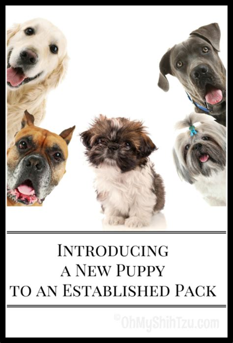 introducing a new puppy introducing a new puppy to an established pack oh my shih tzu