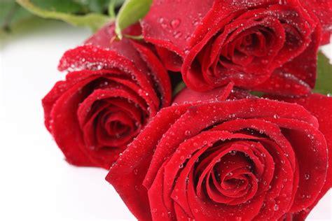 imagenes bellas rojas galer 237 a de im 225 genes rosas