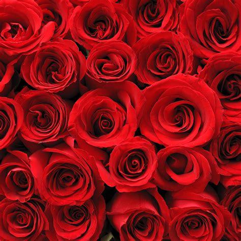 imagenes rosas jpg fotos rosas imagui