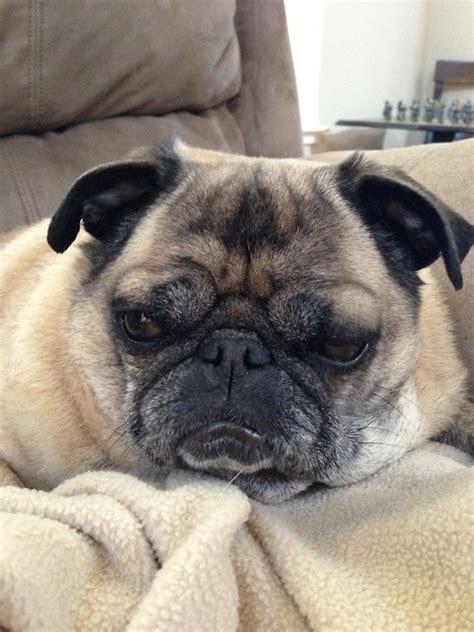 grumpy pug grumpy pug pug obsession