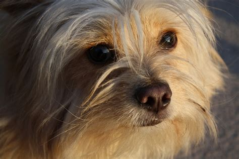 shih tzu chihuahua mix shedding shih tzu chihuahua mix a k a shichi breed info 21 pictures animalso