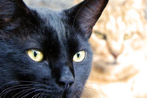 black cat black cat face www pixshark com images galleries with a bite