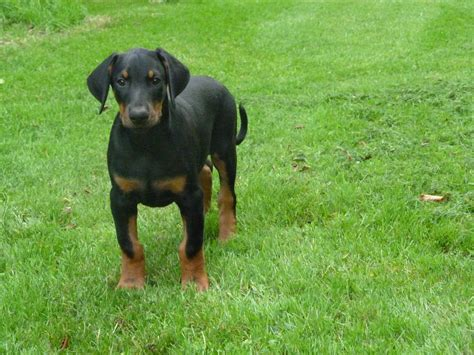 doberman puppies illinois doberman pinscher brown puppies for sale car pictures