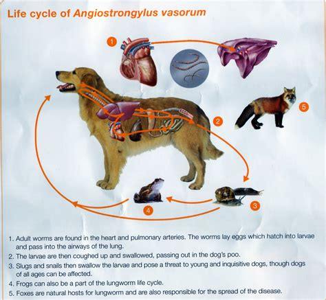 lungworm in dogs lungworm