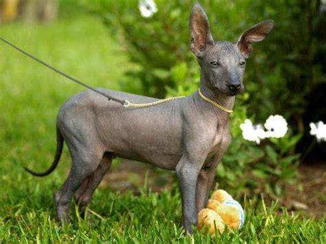 hairless dogs peruvian hairless dogs all about this rarest breed feminiyafeminiya