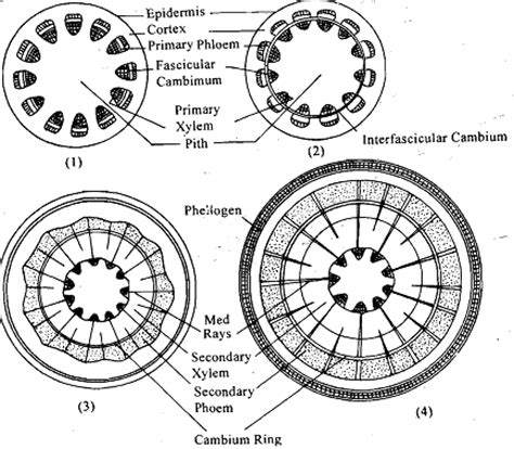 difference between monocot and dicot root cross section difference between the secondary growth in dicot stem and