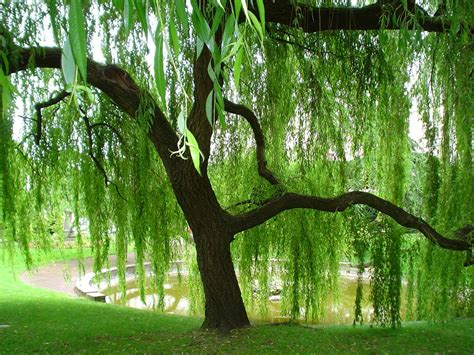 weeping willow romantic trees pinterest