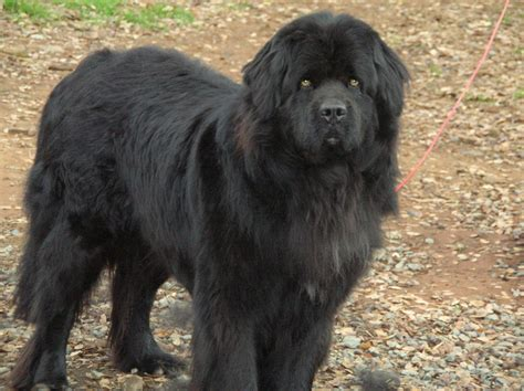 newfoundland dogs brown newfoundland car interior design