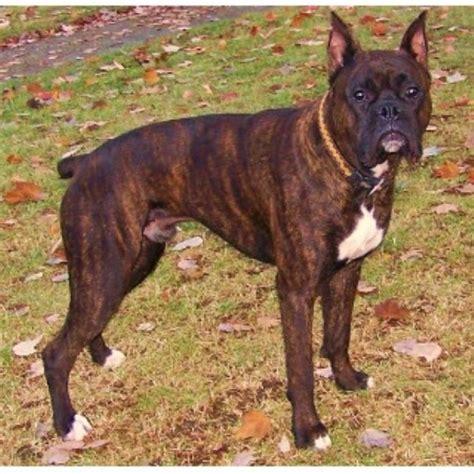 boxer puppies for sale in cincinnati ohio c g k 9 boxer studs boxer stud in cincinnati ohio listing id 22415