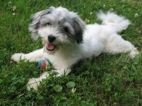 havanese puppy glad havanese photo and wallpaper beautiful glad havanese pictures