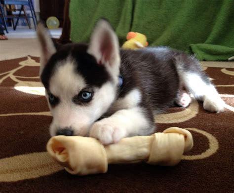 husky puppies for sale in miami siberian husky puppies for sale virginia boulevard va 201202