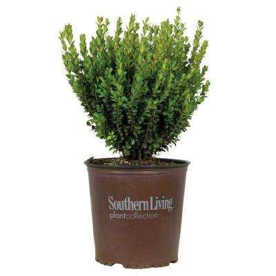 evergreen shrubs trees bushes garden center