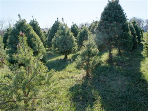 how to pick a christmas tree where near suffield to cut