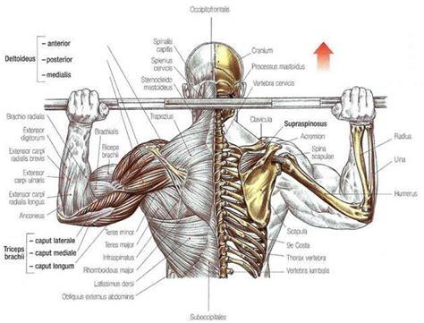 posterior shoulder pain bench press 25 beste idee 235 n over deltoideus workout op pinterest