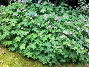 Annual Flowers That Like Full Sun - geranium endressii study plants everyday
