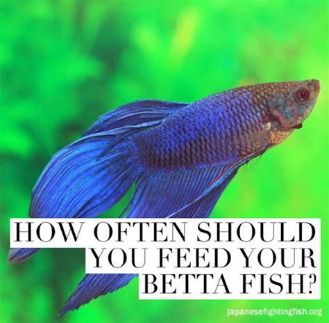 how often should you feed a betta fish feeding best betta fish food