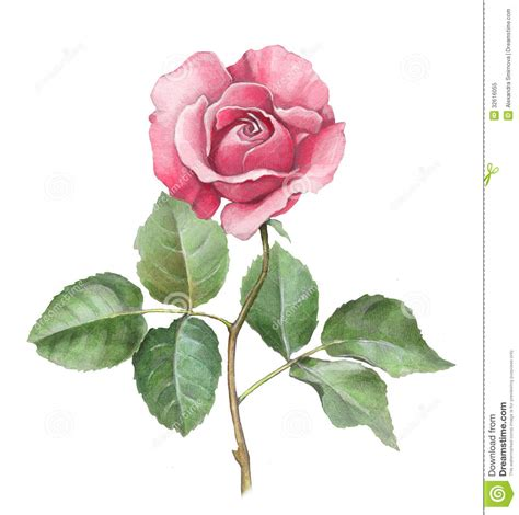 watercolor illustration of rose stock illustration image