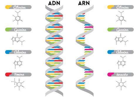 cadenas adn y arn las 5 diferencias entre el adn y arn que debes conocer