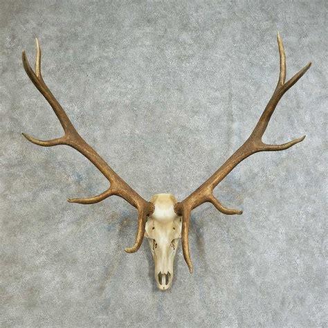 elk skull antler european mount 16117 for sale the