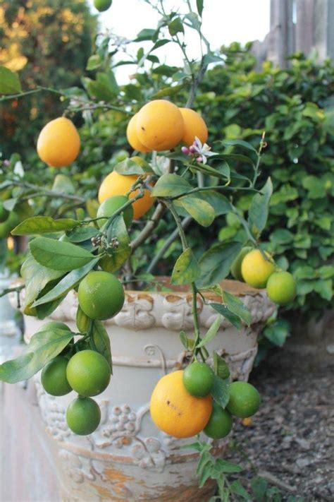 meyer lemon tree meyer lemon tree gardening
