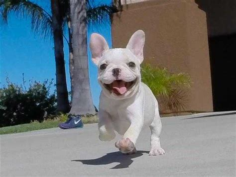 bulldog puppies for sale san diego bulldogs page 10 for sale ads free classifieds