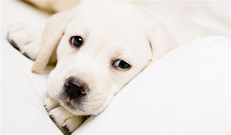 puppy worms treatment puppy worms treatment prevention and diagnosis