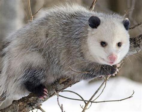 opossum (didelphis virginiana) animals a z animals