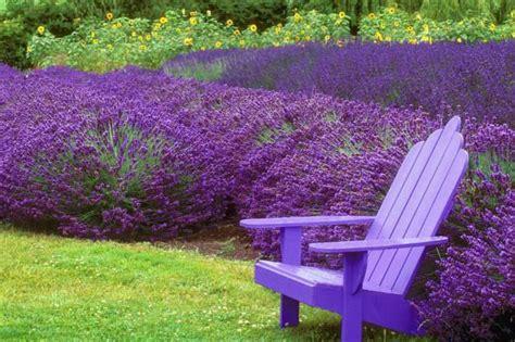 Garten Lavendel Pflanzen by How To Grow Lavender Plants