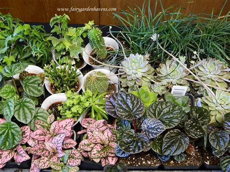 miniature plants for sale miniature gardening town and country nurseries