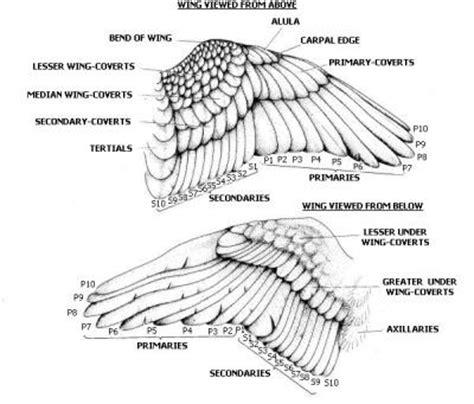 bird wing diagram http www theparrotsocietyuk org en imgs wing jpg