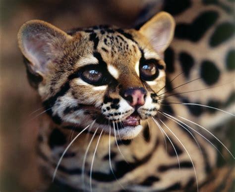 jaguatirica [brazilian ocelot] cats & animals background