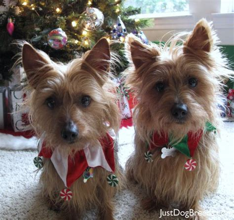 Non Shedding Dogs Australia by Small Non Shedding Breeds Australian Breeds List A