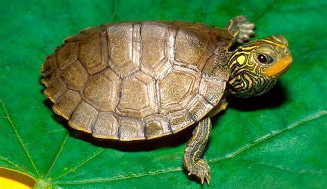 imagenes de libres y tortugas tortugas gu 237 a de especies informaci 243 n b 225 sica fotos y