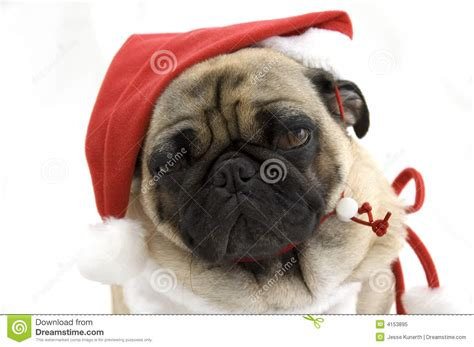 pug in santa hat pug in santa hat royalty free stock photo image 4153895