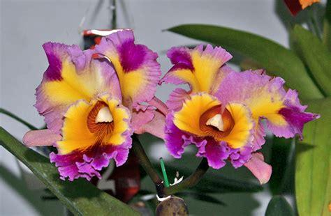 imagenes de orquideas naturales venezuela la flor nacional luci 243 en todo su esplendor en