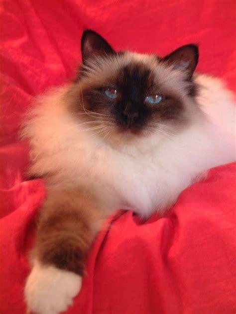 birman v ragdoll 318 best different cat breeds images on