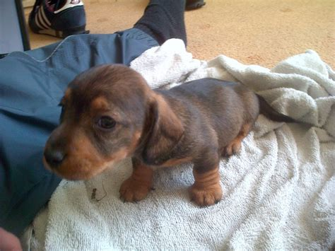 sausage dogs daschund sausage teckel pup leeds west pets4homes