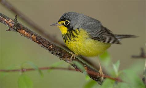 canada warbler quot wilsonia canadensis quot boreal songbird