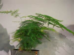 Climbing Plants For Partial Shade - asparagus fern plumosa amp foxtail the palm room