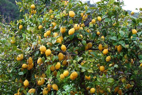 Comment Avoir Des Citrons Sur Un Citronnier by Citronnier Planter Et Entretenir Ooreka