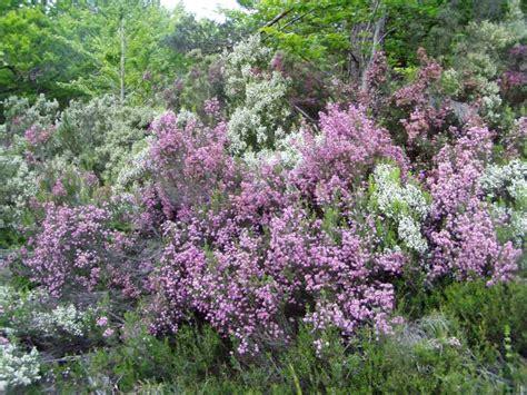 gardening airy fairies winter flowering shrubs