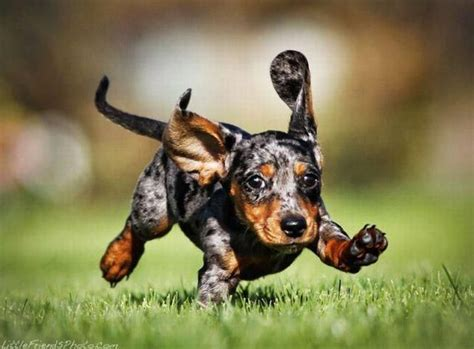 dapple dachshund puppies 143 best images about dapple dachshunds on i want hair and minis