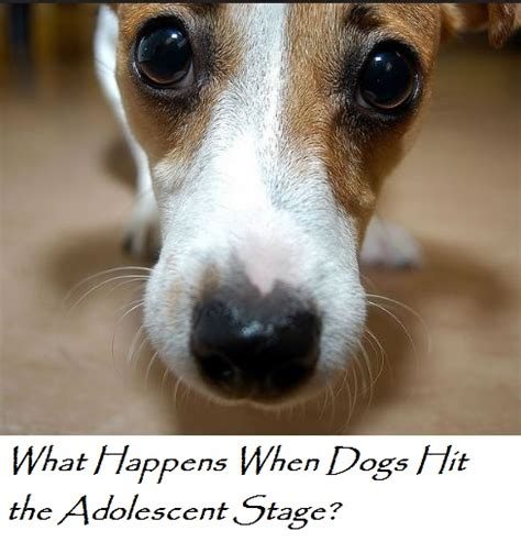 puppy adolescence what happens when dogs hit adolescence daily discoveries
