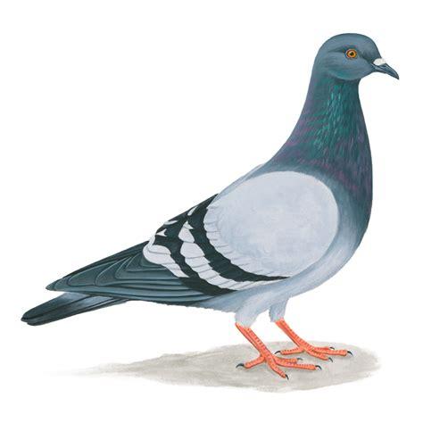 rock pigeon celebrate urban birds