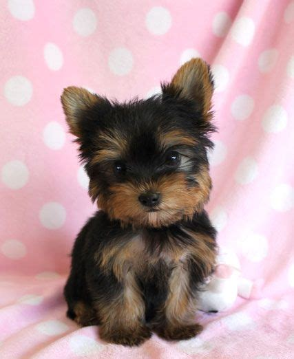 yorkie pom puppies for sale yorkie pomeranian search cutest thing yorkie puppys and yorkies