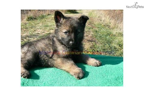 black and silver german shepherd puppies for sale black and silver german shepherd puppies for sale in missouri