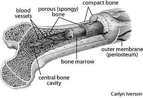 bone cross section illustration
